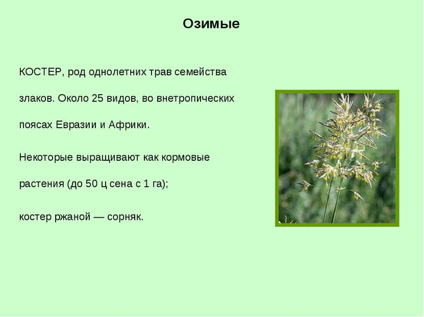 КОСТЕР, род однолетних трав семейства злаков. Около 25 видов, во внетропическ...