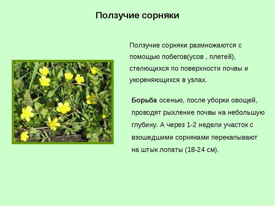 Ползучие сорняки размножаются с помощью побегов(усов , плетей), стелющихся по...