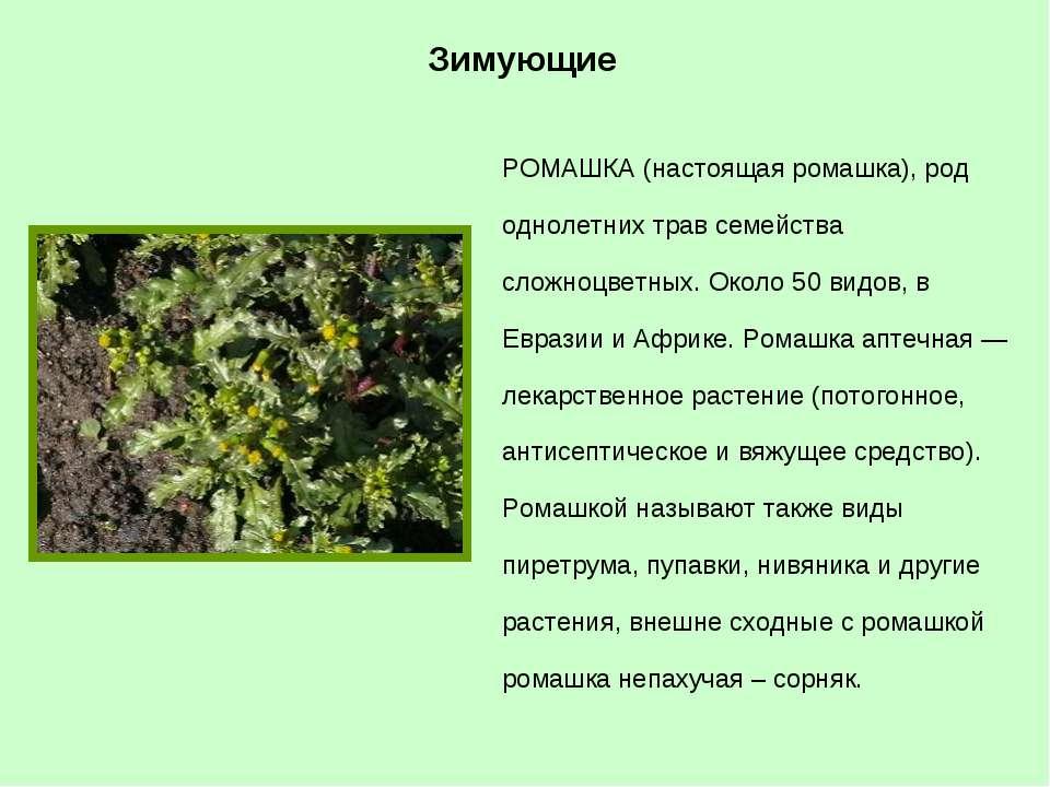 РОМАШКА (настоящая ромашка), род однолетних трав семейства сложноцветных. Око...