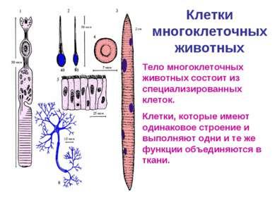 Клетки многоклеточных животных Тело многоклеточных животных состоит из специа...