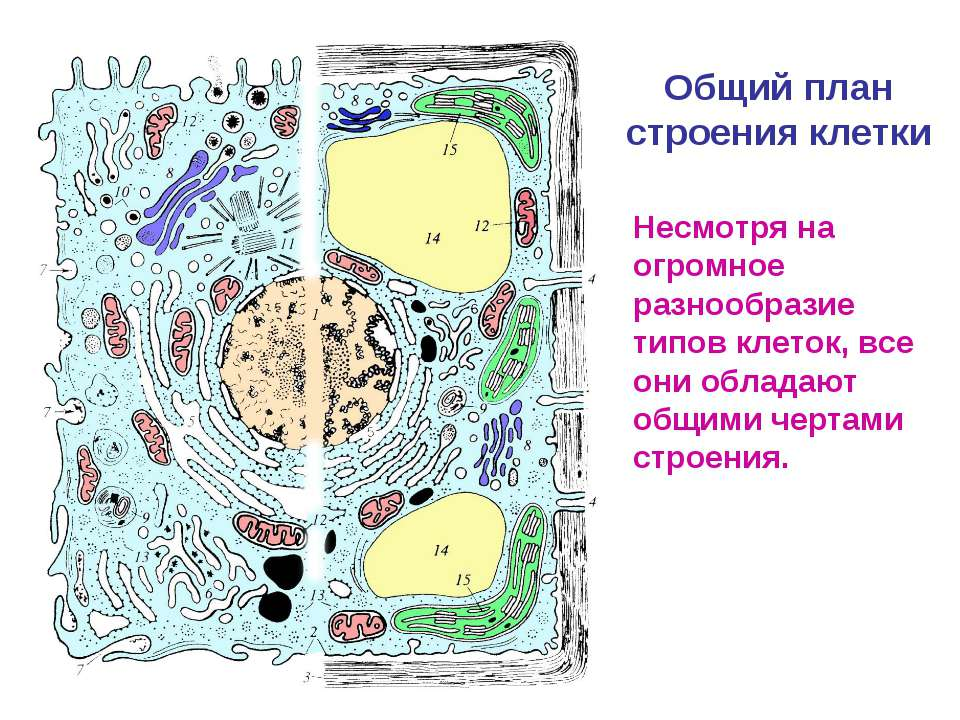 Общий план строения клетки Несмотря на огромное разнообразие типов клеток, вс...