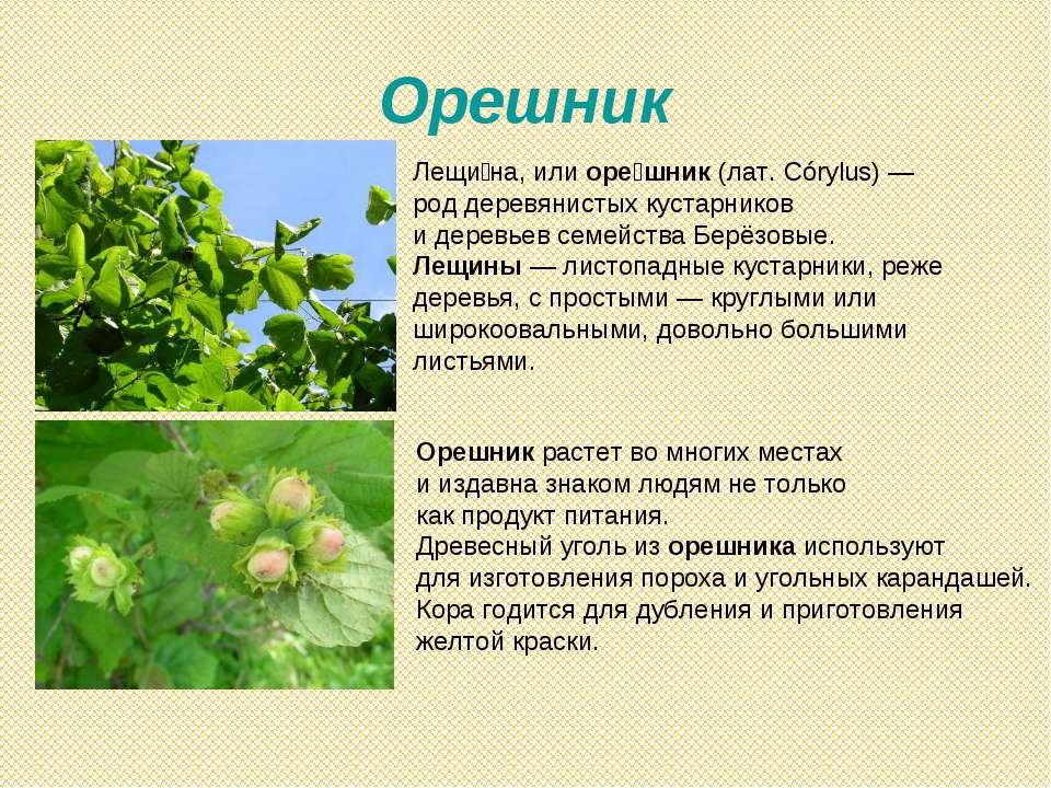 Орешник Лещи на, или оре шник (лат. Córylus)— род деревянистых кустарников и...