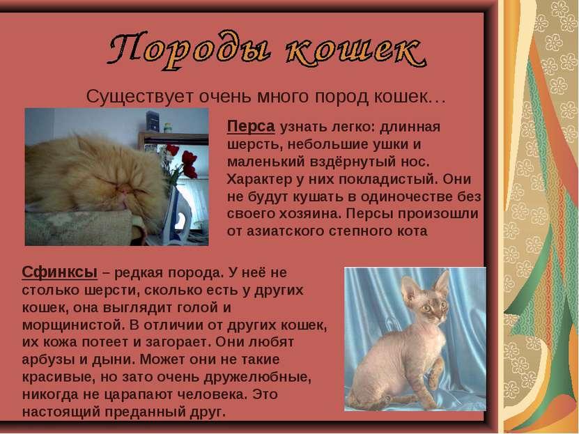 Существует очень много пород кошек… Перса узнать легко: длинная шерсть, небол...