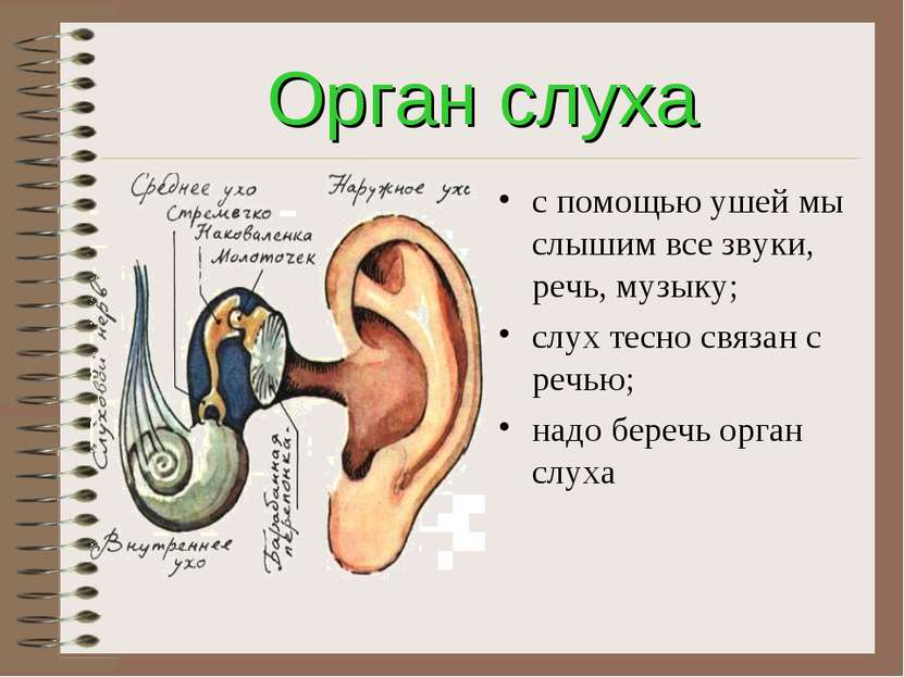 Орган слуха с помощью ушей мы слышим все звуки, речь, музыку; слух тесно связ...