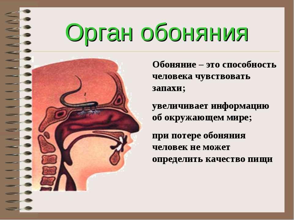 Орган обоняния Обоняние – это способность человека чувствовать запахи; увелич...
