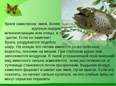 Враги хамелеона: змеи, более крупные ящерицы, хищные млекопитающие или птицы,...