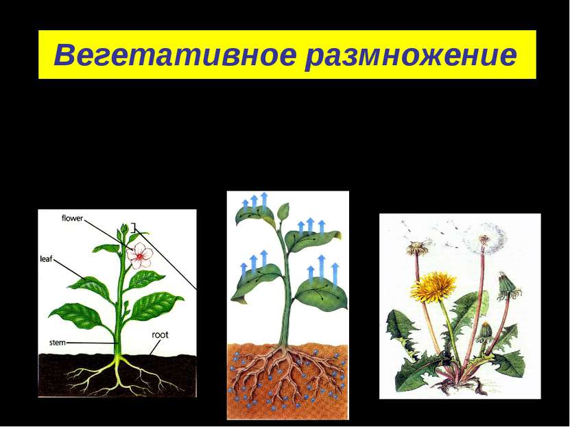 Вегетативное размножение - размножение вегетативными органами растений: корня...