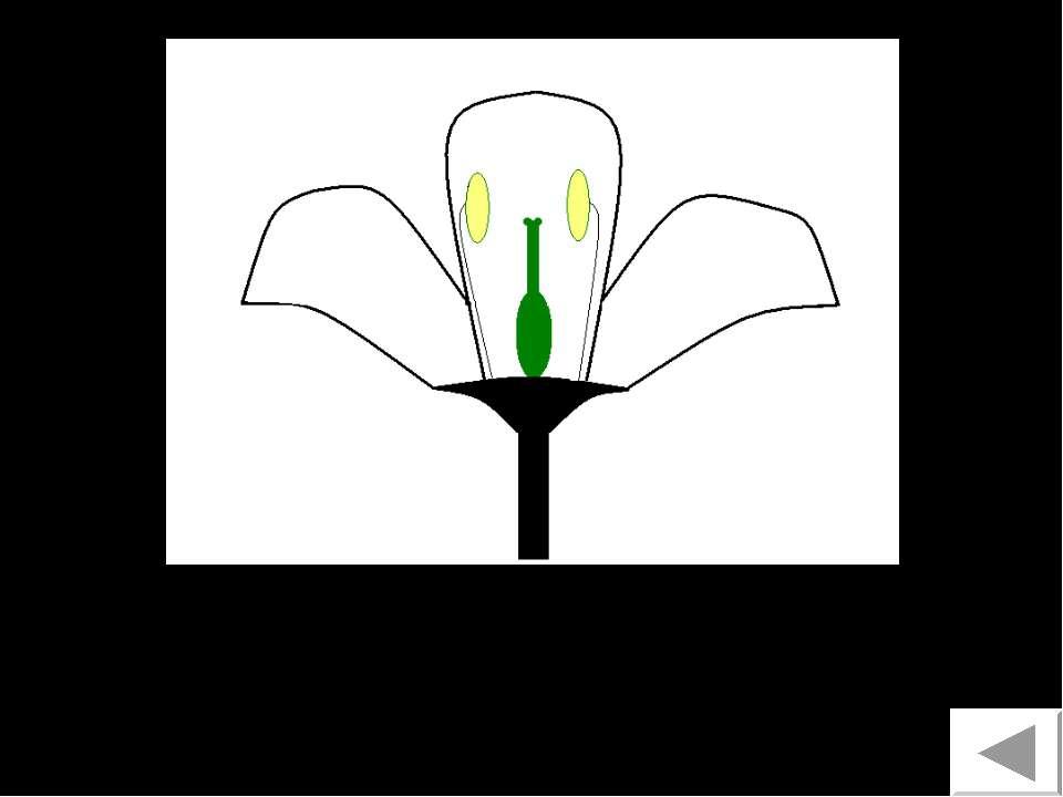 Обоеполый цветок 7
