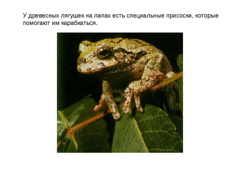 У древесных лягушек на лапах есть специальные присоски, которые помогают им к...