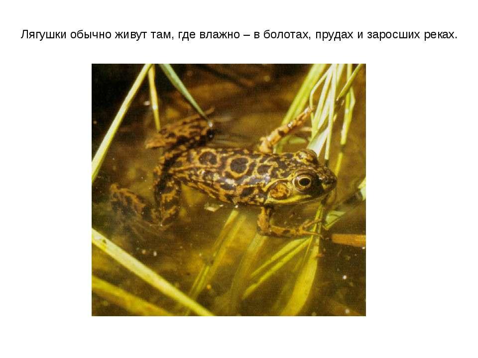 Лягушки обычно живут там, где влажно – в болотах, прудах и заросших реках.