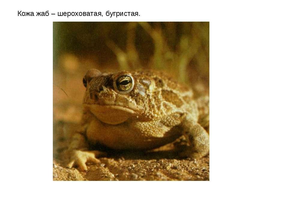 Кожа жаб – шероховатая, бугристая.