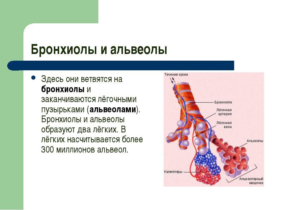 Бронхиолы и альвеолы Здесь они ветвятся на бронхиолы и заканчиваются лёгочным...