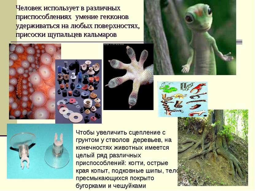 Человек использует в различных приспособлениях умение гекконов удерживаться н...