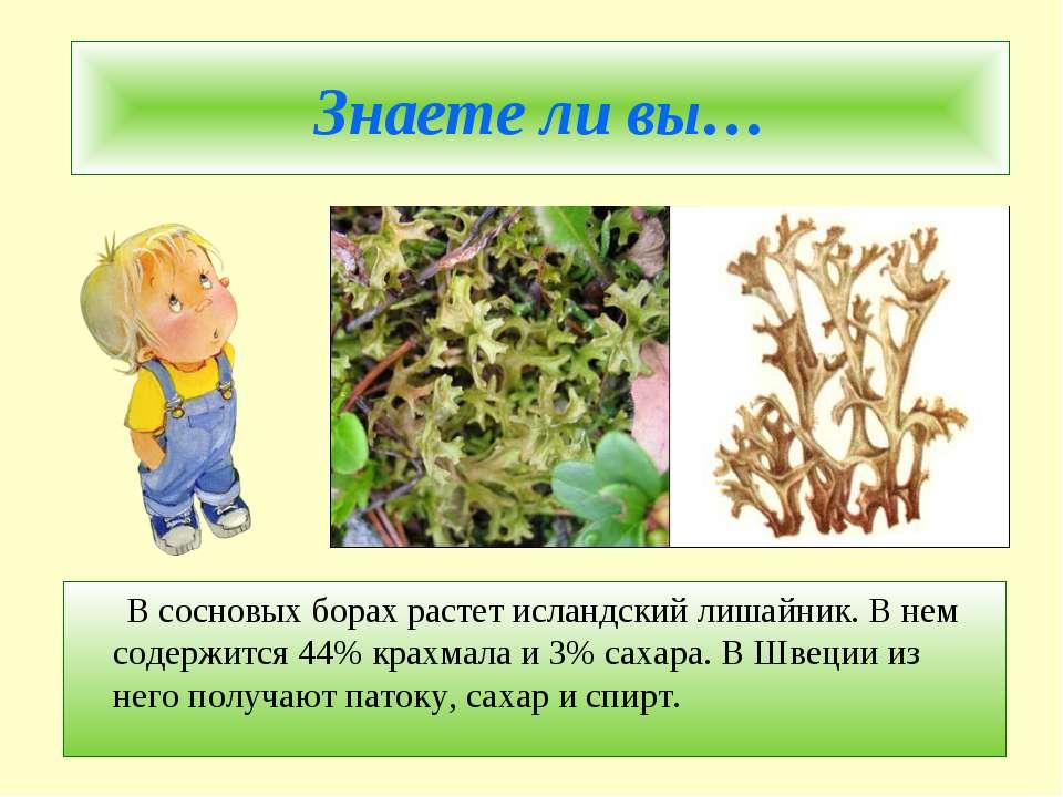 Знаете ли вы… В сосновых борах растет исландский лишайник. В нем содержится 4...