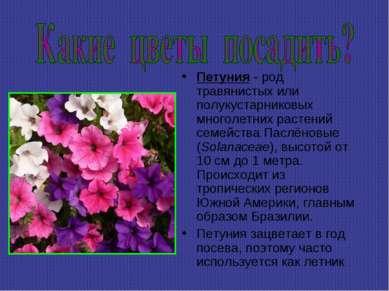 Петуния - род травянистых или полукустарниковых многолетних растений семейств...