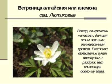Ветреница алтайская или анемона сем. Лютиковые Ветер, по-гречески «anemos», д...