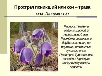 Прострел поникший или сон – трава сем. Лютиковые Распространен в районах лесн...