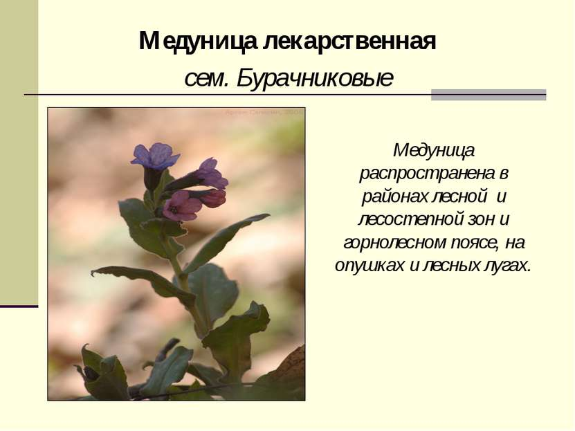 Медуница лекарственная сем. Бурачниковые Медуница распространена в районах ле...