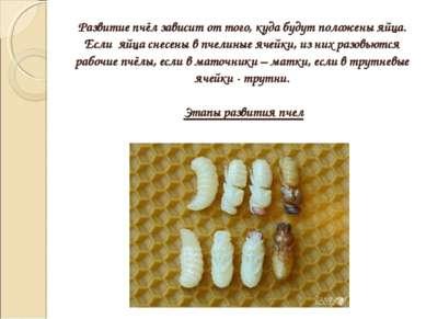 Развитие пчёл зависит от того, куда будут положены яйца. Если яйца снесены в ...