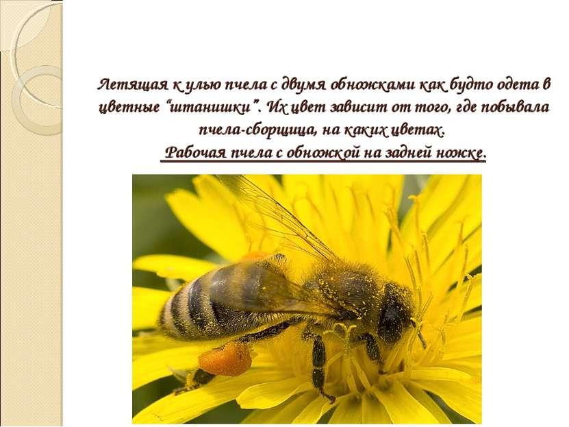 """Летящая к улью пчела с двумя обножками как будто одета в цветные """"штанишки"""". ..."""