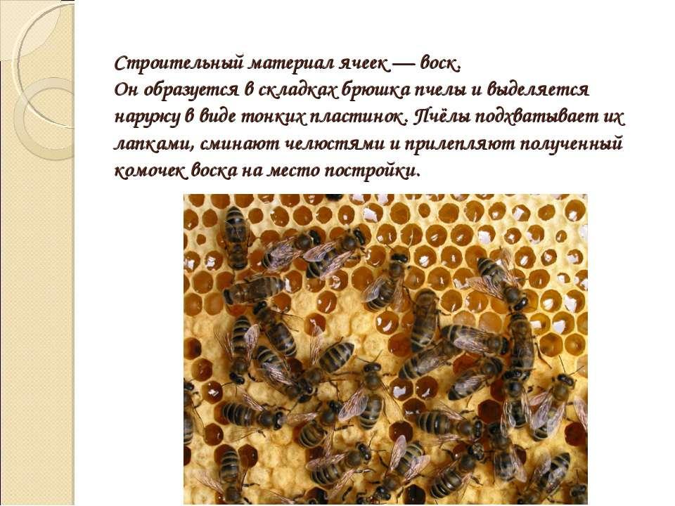 Строительный материал ячеек — воск. Он образуется в складках брюшка пчелы и в...