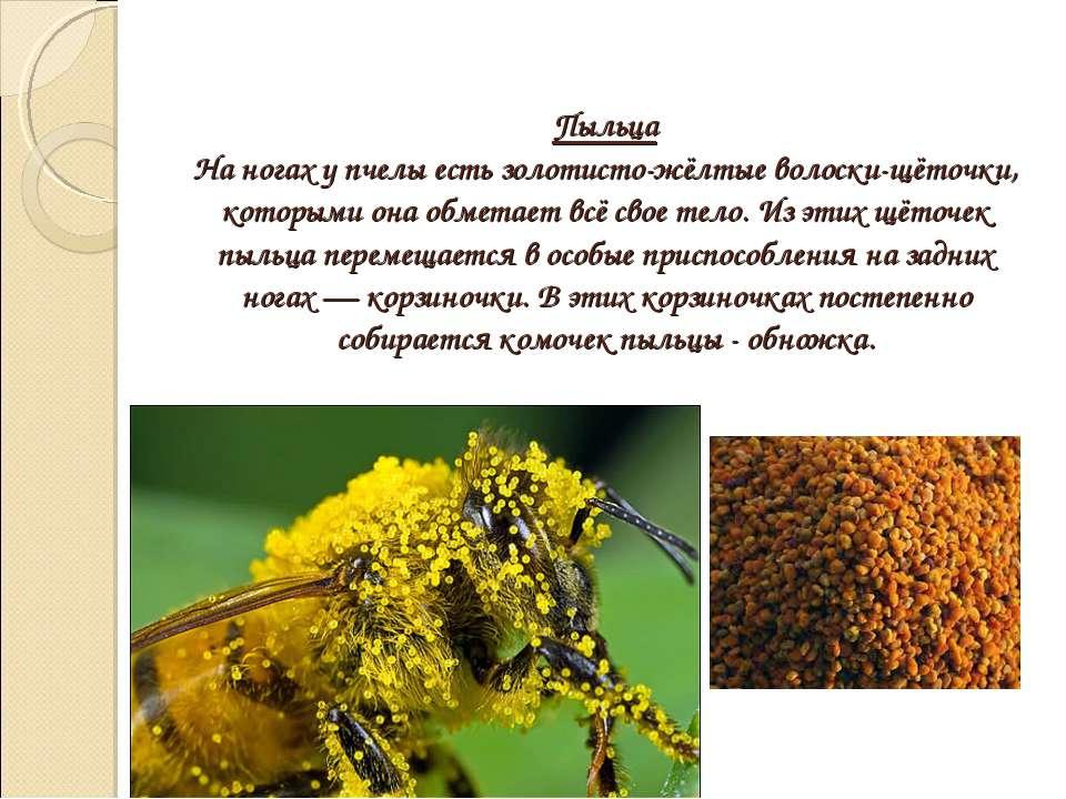 Пыльца На ногах у пчелы есть золотисто-жёлтые волоски-щёточки, которыми она о...