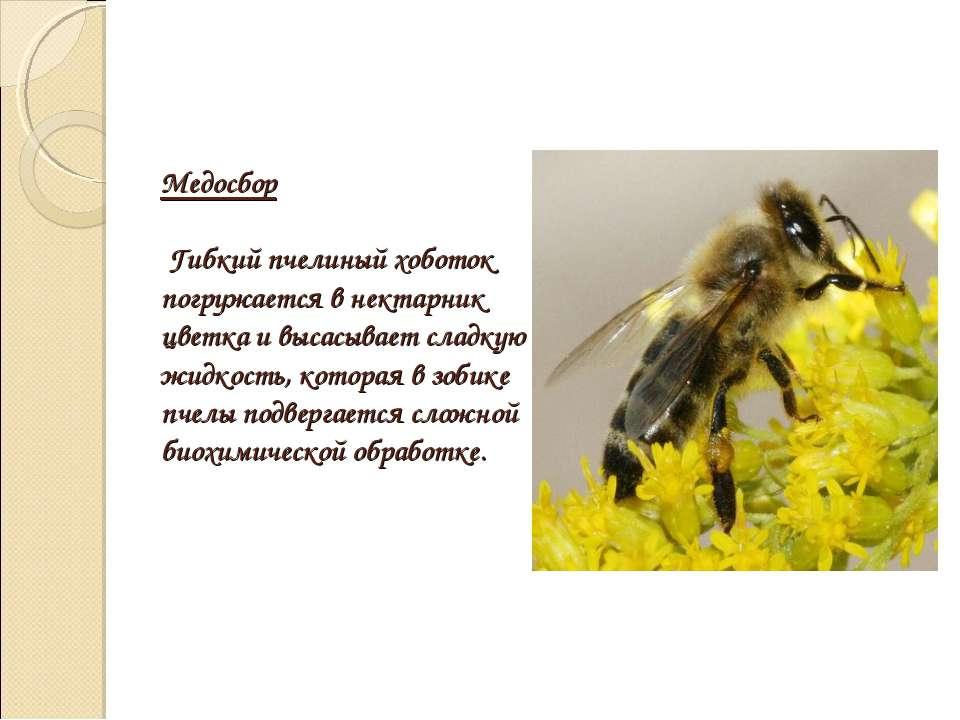 Медосбор Гибкий пчелиный хоботок погружается в нектарник цветка и высасывает ...