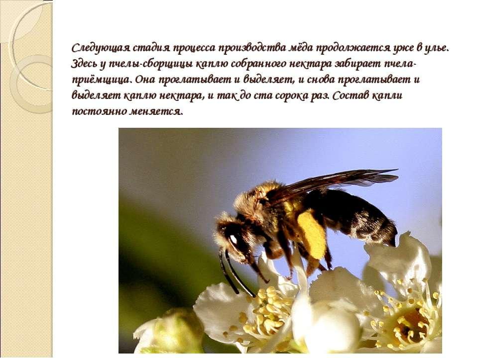 Следующая стадия процесса производства мёда продолжается уже в улье. Здесь у ...