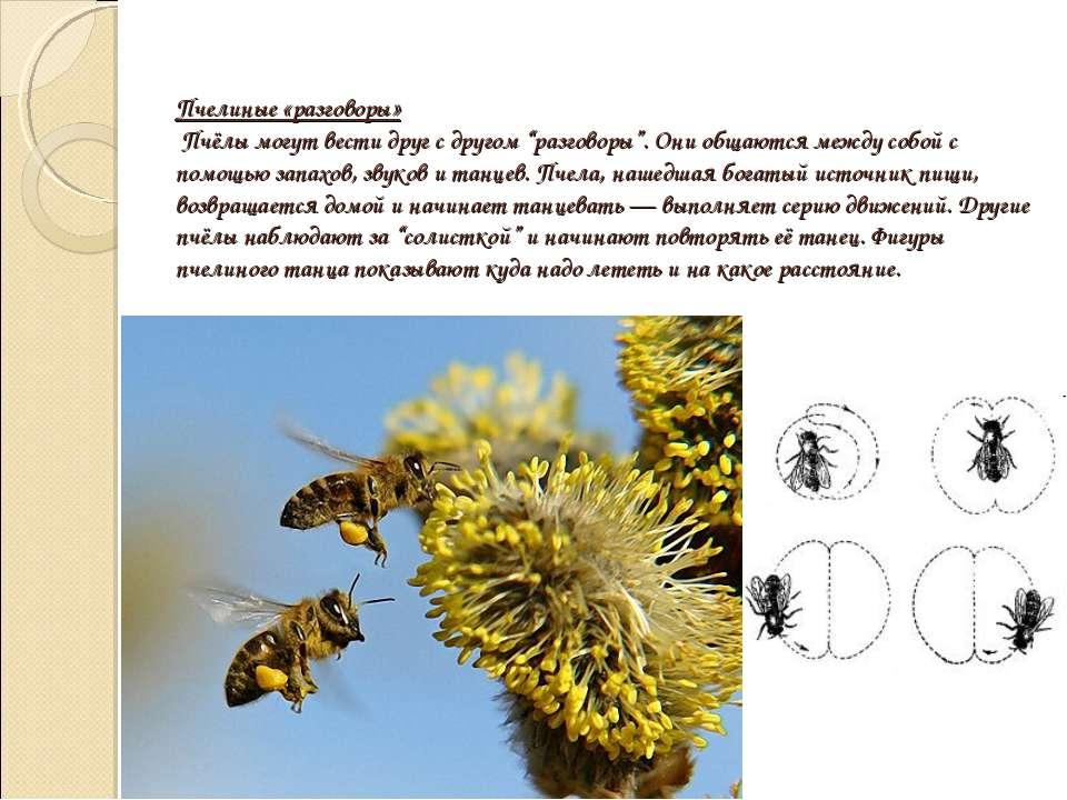 """Пчелиные «разговоры» Пчёлы могут вести друг с другом """"разговоры"""". Они общаютс..."""