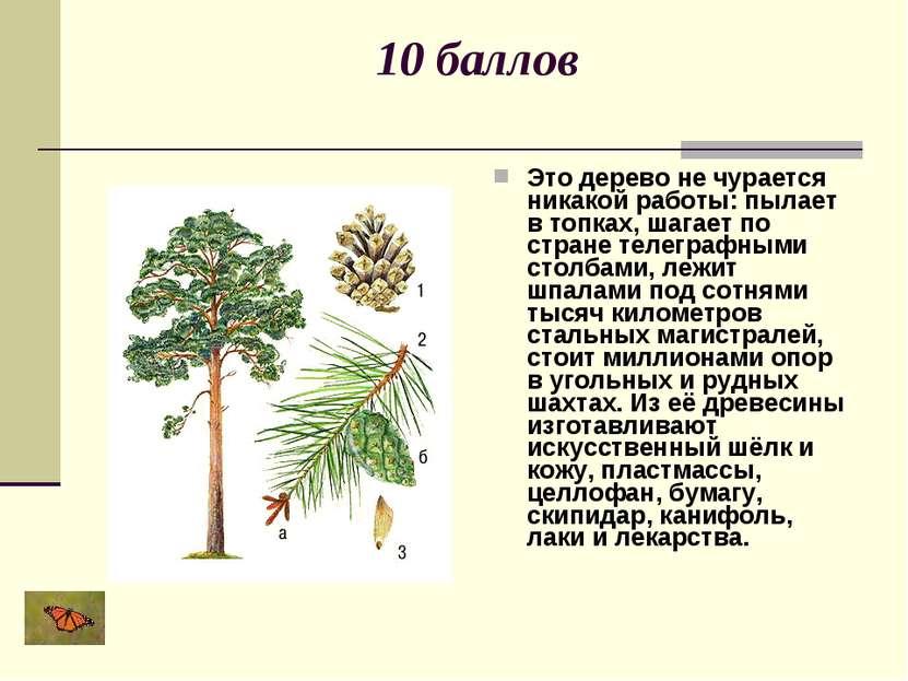 10 баллов Это дерево не чурается никакой работы: пылает в топках, шагает по с...