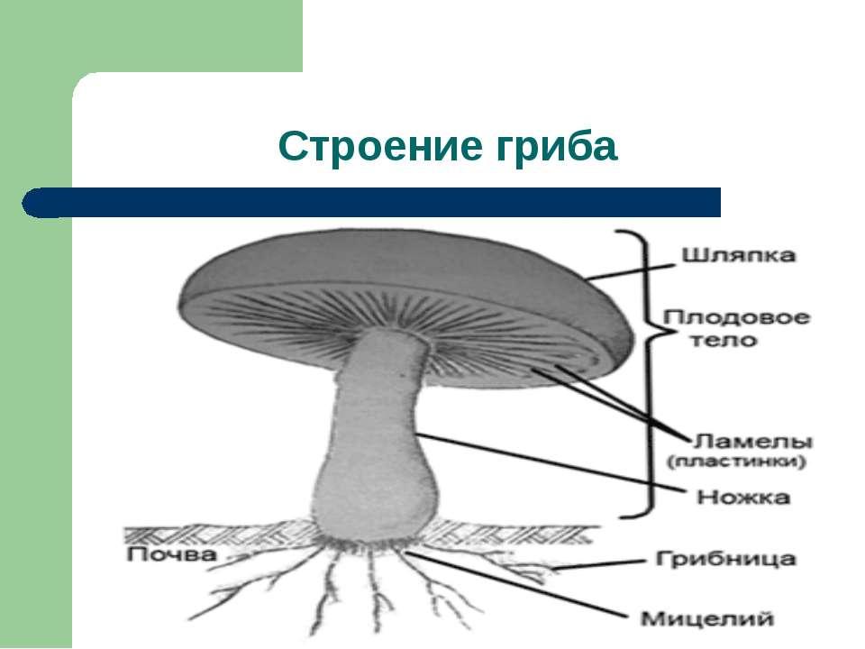 Строение гриба