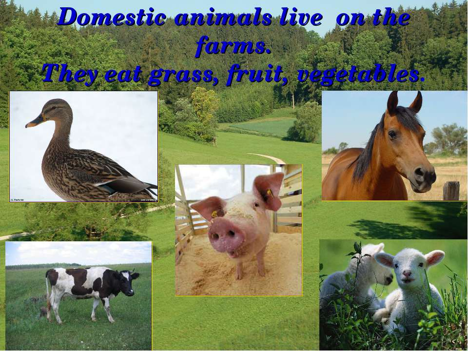 Domestic animals live on the farms. They eat grass, fruit, vegetables.