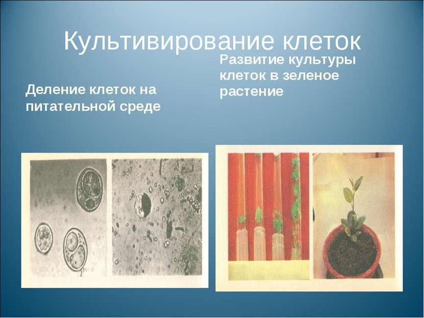 Культивирование клеток Деление клеток на питательной среде Развитие культуры ...
