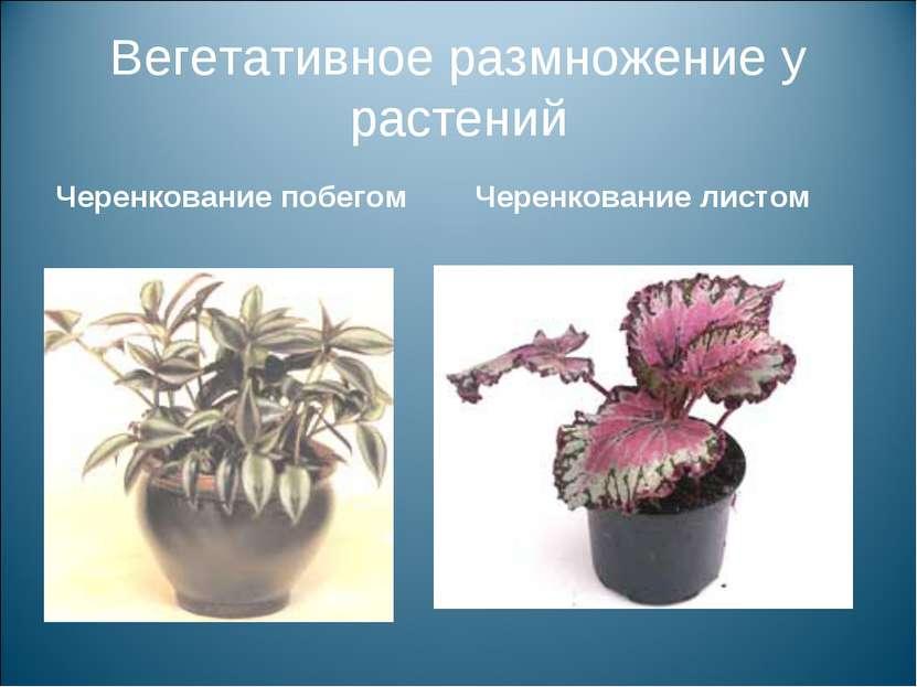 Вегетативное размножение у растений Черенкование побегом Черенкование листом