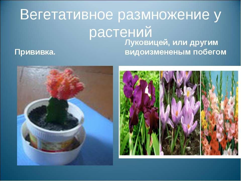 Вегетативное размножение у растений Прививка. Луковицей, или другим видоизмен...
