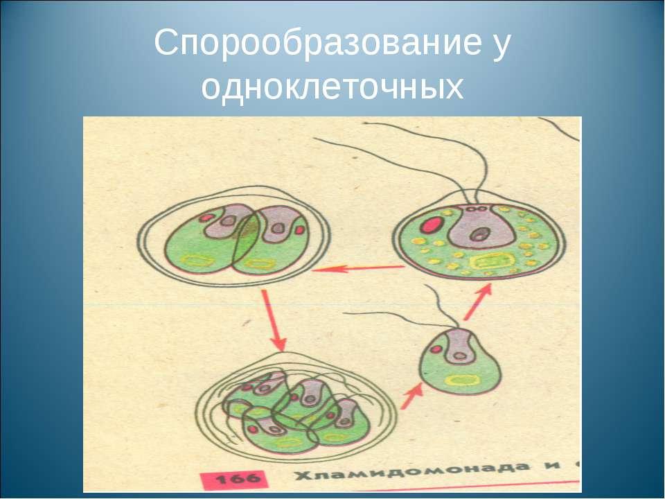 Спорообразование у одноклеточных