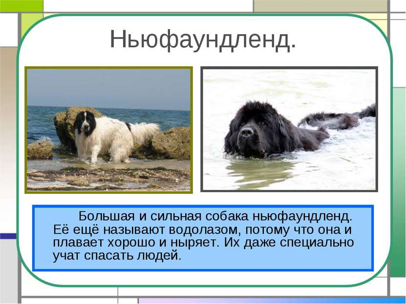 Ньюфаундленд. Большая и сильная собака ньюфаундленд. Её ещё называют водолазо...