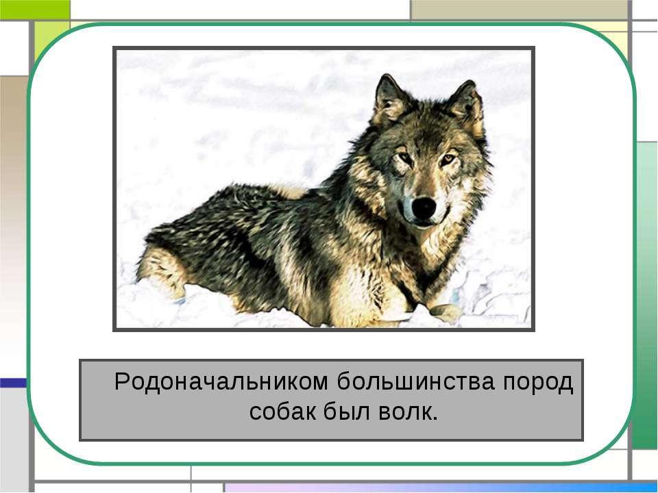 Родоначальником большинства пород собак был волк.