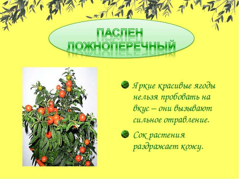 Яркие красивые ягоды нельзя пробовать на вкус – они вызывают сильное отравлен...