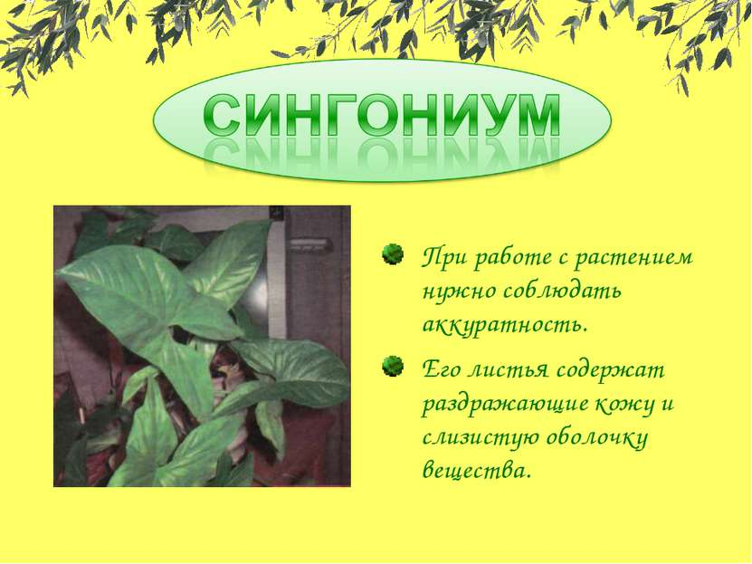 При работе с растением нужно соблюдать аккуратность. Его листья содержат разд...