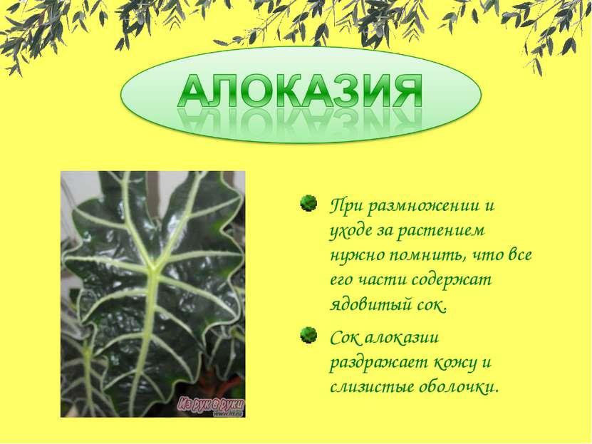 При размножении и уходе за растением нужно помнить, что все его части содержа...