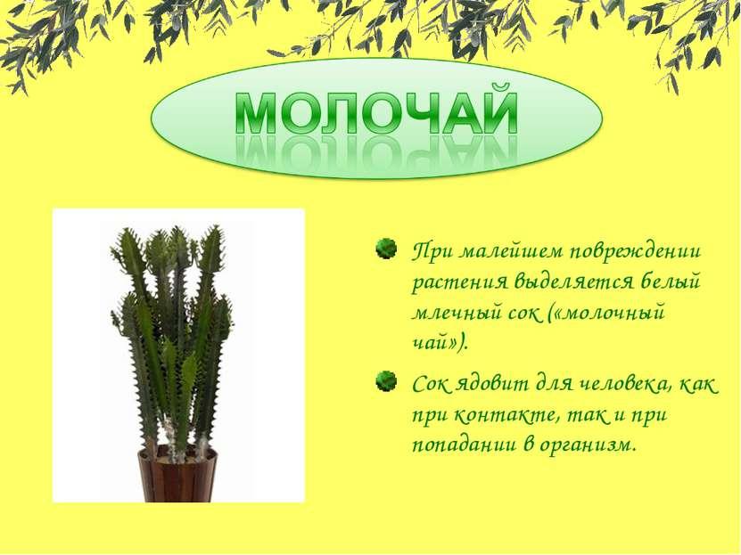 При малейшем повреждении растения выделяется белый млечный сок («молочный чай...