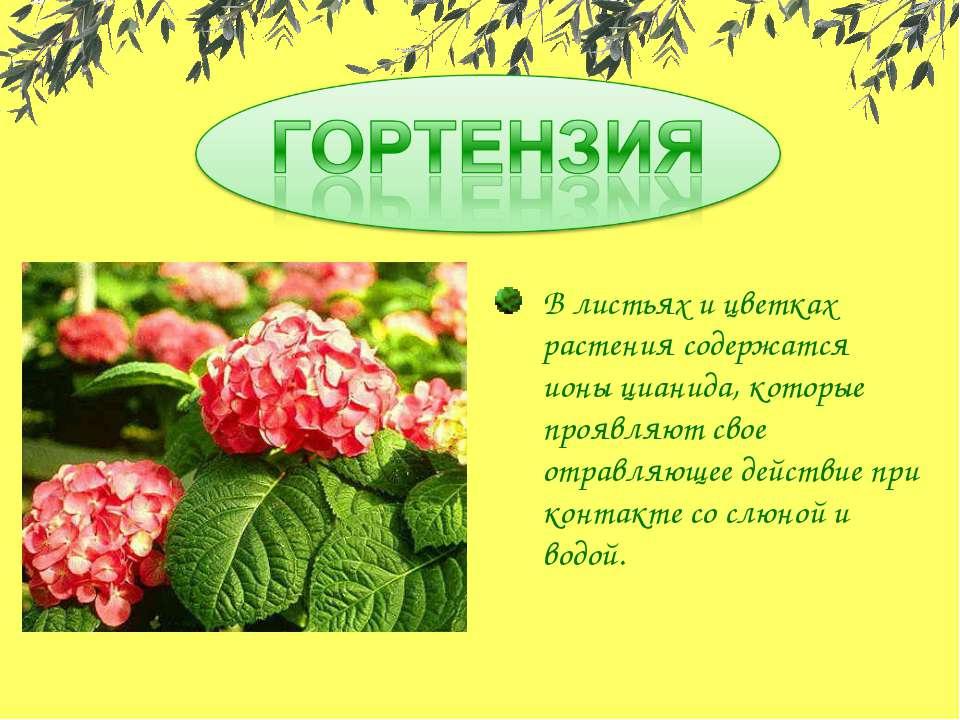В листьях и цветках растения содержатся ионы цианида, которые проявляют свое ...