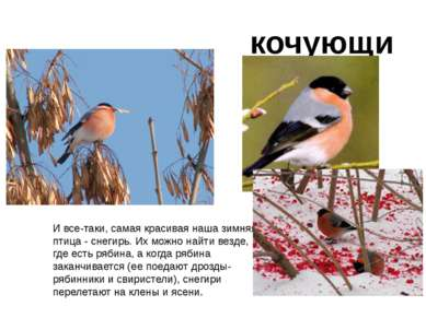 И все-таки, самая красивая наша зимняя птица - снегирь. Их можно найти везде,...