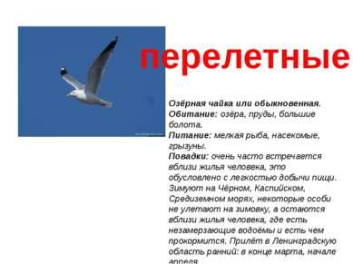 Озёрная чайка или обыкновенная. Обитание:озёра, пруды, большие болота. Питан...