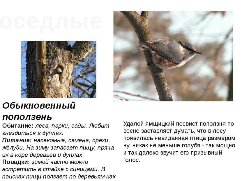 Обыкновенный поползень Обитание:леса, парки, сады. Любит гнездиться в дуплах...