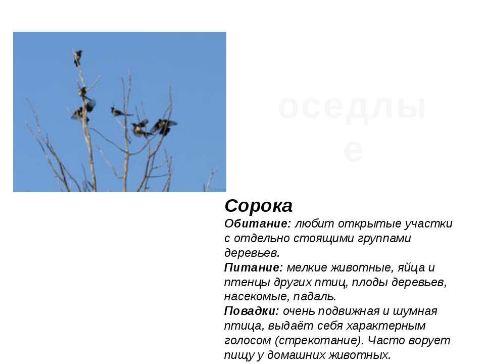 Сорока Обитание:любит открытые участки с отдельно стоящими группами деревьев...