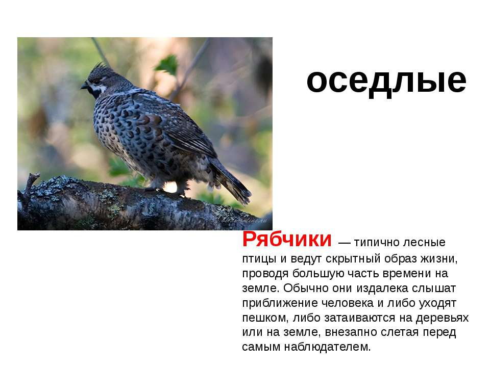 Рябчики — типично лесные птицы и ведут скрытный образ жизни, проводя большую ...