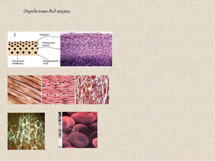 Определите вид ткани 1 2 3 4 5 6