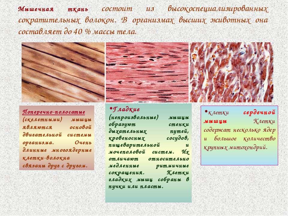 Мышечная ткань состоит из высокоспециализированных сократительных волокон. В ...